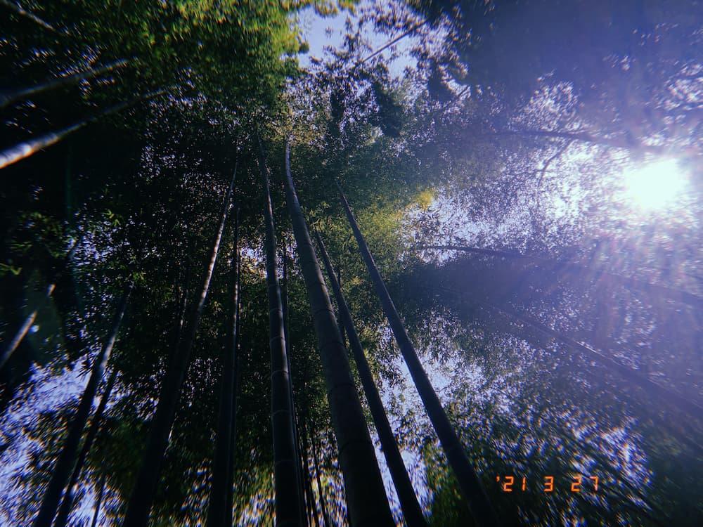 北鎌倉にて撮影した竹林
