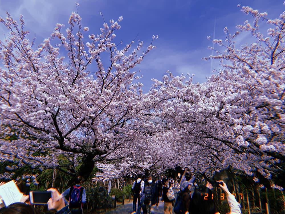同じく北鎌倉で撮影した桜